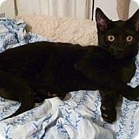 Domestic Shorthair Kitten for adoption in New York, New York - Katt
