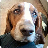 Adopt A Pet :: Damale - Phoenix, AZ
