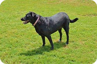 Labrador Retriever Dog for adoption in Garland, Texas - Lady