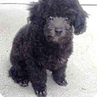 Adopt A Pet :: Puppy - Dover, MA