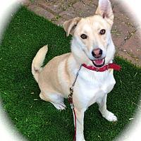 Husky/Labrador Retriever Mix Dog for adoption in Los Angeles, California - Amazing Maya-VIDEO