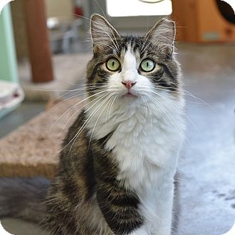Domestic Longhair Cat for adoption in Wilmington, Delaware - Hagrid