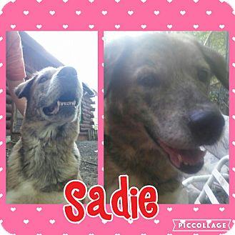 Husky/Labrador Retriever Mix Dog for adoption in Cranston, Rhode Island - Sadie
