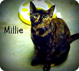 Domestic Shorthair Cat for adoption in Defiance, Ohio - Millie