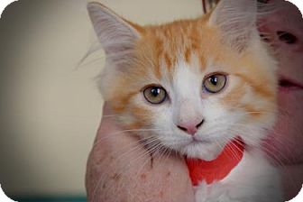 Domestic Shorthair Kitten for adoption in Wichita, Kansas - Ney