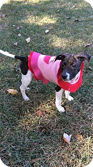 Whippet/Labrador Retriever Mix Puppy for adoption in Brattleboro, Vermont - Mercy