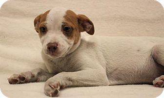 Shepherd (Unknown Type)/Australian Shepherd Mix Puppy for adoption in Modesto, California - Norman