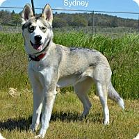 Adopt A Pet :: Sydney - Yreka, CA