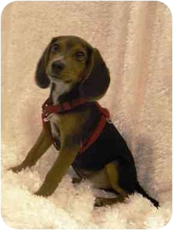 Beagle Dog for adoption in Hendersonville, Tennessee - Rufus