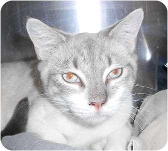 Siamese Cat for adoption in Chesapeake, Virginia - Ling