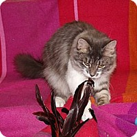 Adopt A Pet :: Liffy-silver tuxedo-diva - Scottsdale, AZ