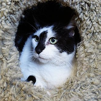 Domestic Shorthair Cat for adoption in Naperville, Illinois - Sylvester