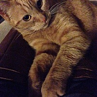 Domestic Shorthair Cat for adoption in Orange, California - Cutie