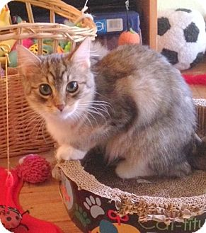 Domestic Longhair Cat for adoption in San Leandro, California - Ginger