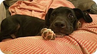 Retriever (Unknown Type) Mix Puppy for adoption in Knoxville, Tennessee - Barrow