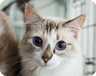 Siamese Cat for adoption in Los Angeles, California - Bette Davis