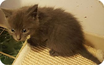 Domestic Shorthair Kitten for adoption in Irwin, Pennsylvania - Ace
