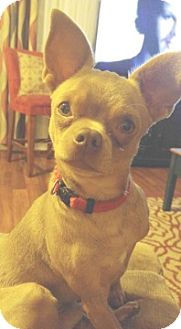 Chihuahua Dog for adoption in Columbus, Ohio - Frodo