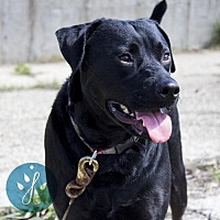 Labrador Retriever/American Staffordshire Terrier Mix Dog for adoption in Cincinnati, Ohio - Jasmine