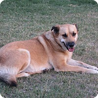 Shepherd (Unknown Type) Mix Dog for adoption in San Antonio, Texas - Pippin