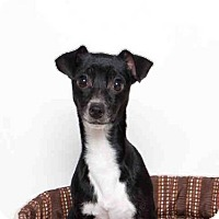 Chihuahua Mix Dog for adoption in Murray, Utah - CASSIE