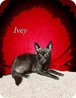 Chihuahua Dog for adoption in Chester, Illinois - Ivey