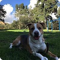 Adopt A Pet :: Ozzy the Blue Heeler - Santa Monica, CA