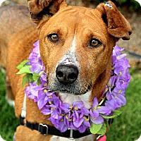 Adopt A Pet :: Abby - Vista, CA