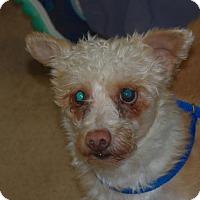 Adopt A Pet :: Istanbul - Longview, WA