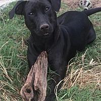 Labrador Retriever Mix Dog for adoption in Hinesville, Georgia - Gemma