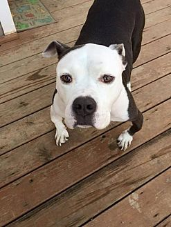 American Pit Bull Terrier Mix Dog for adoption in Sayville, New York - Hercules