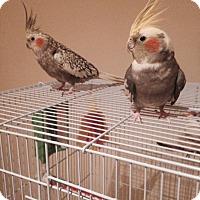 Adopt A Pet :: Daisy & Duke - St. Louis, MO