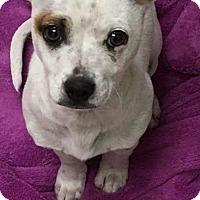 Adopt A Pet :: Rascal - Monrovia, CA