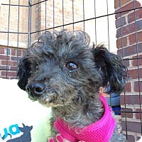 Miniature Poodle Dog for adoption in Durham, North Carolina - Molly