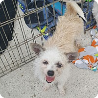 Adopt A Pet :: Lily - Brownsville, TX