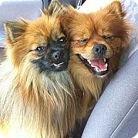 Adopt A Pet :: Duffy and Simba - Alexandria, VA