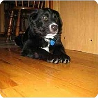 Adopt A Pet :: Cooper - Rigaud, QC