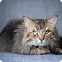 Adopt A Pet :: Bob Cat - Vancouver, BC