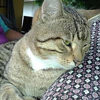 American Shorthair Cat for adoption in Miami, Florida - Piti
