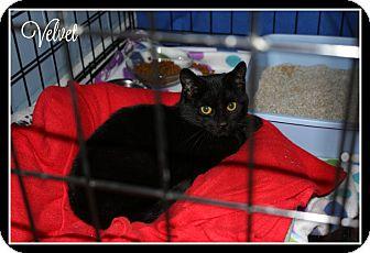 Domestic Shorthair Kitten for adoption in New Richmond,, Wisconsin - Velvet - $0 Adoption Fee