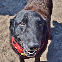 Labrador Retriever/Newfoundland Mix Dog for adoption in Iola, Texas - Scooby