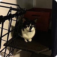 American Shorthair Cat for adoption in Medford, New York - Pepper
