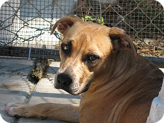 Boxer/Black Mouth Cur Mix Dog for adoption in Groton, Massachusetts - Allura