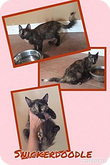 Domestic Longhair Kitten for adoption in Scottsdale, Arizona - Snickerdoodle