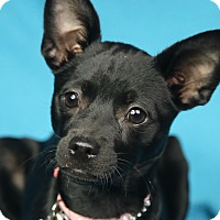 Adopt A Pet :: Lulu - Minneapolis, MN