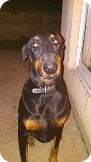 Doberman Pinscher Mix Dog for adoption in Antioch, California - Gunny