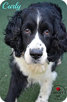 Springer Spaniel Dog for adoption in Youngwood, Pennsylvania - Curly
