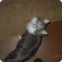 Adopt A Pet :: Gray - Chandler, AZ