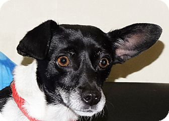 Chihuahua Mix Dog for adoption in Spokane, Washington - Trixie