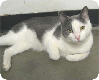 Domestic Shorthair Cat for adoption in Mesa, Arizona - Trace